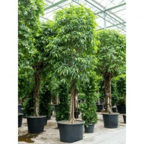 Ficus Maclellandii 'alii' - Jungle Boom 565-575cm art50775